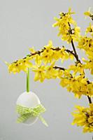 Forsythia (Forsythia intermedia) with Easter egg