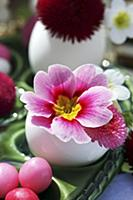 Pink primula and bellis flowers in Easter egg shel