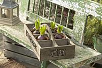 Hyacinth bulbs in compartments of tray on garden b