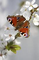 Peacock butterfly on branch of mirabelle plum blos