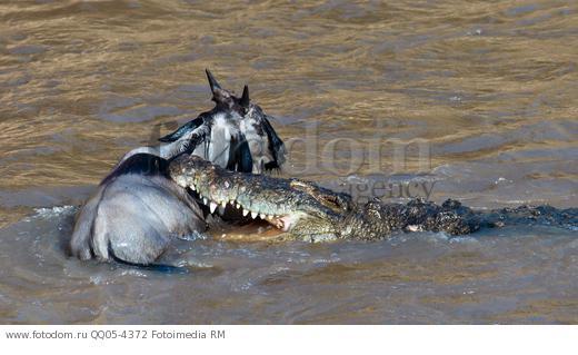 крокодил ловит антилопу