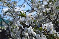 Flowering cherries in the garden. Flowering of sto