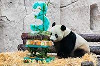Giant panda Ru Yi prepares to taste its birthday c