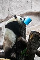 Giant panda Ru Yi tries to open its gift box at th