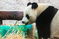 Giant panda Ru Yi tastes its birthday cake at the