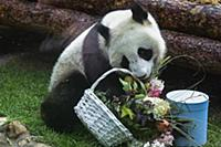 Giant panda Ding Ding is seen at the Moscow Zoo in