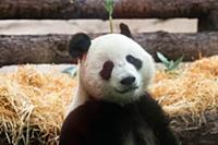 Giant panda Ru Yi is seen at the Moscow Zoo in Mos