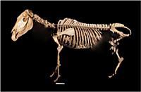 Редкий скелет квагги полностью восстановлен