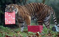 Тигры радуются рождественским подаркам