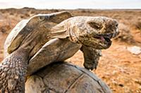 Брачный период леопардовых черепах