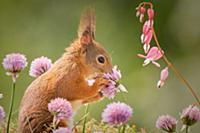 Белка наслаждается запахом весенних цветов. Bispga