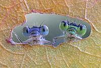 Стрекозы выглядывают из отверстия в листе. Реджо-Э