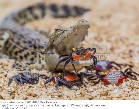 Краб заползает в пасть крокодила. Тангеранг (Tangerang), Индонезия (Indonesia). 2017.