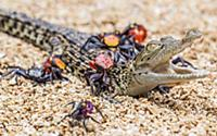 Бесстрашные крабы ползут по крокодилу. Тангеранг (