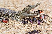 Краб заползает в пасть крокодила. Тангеранг (Tange