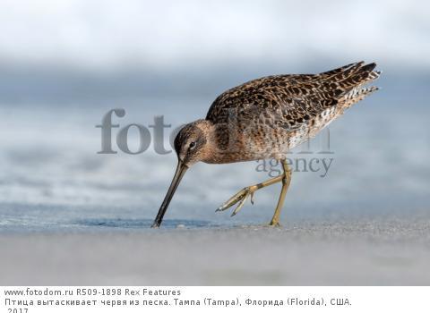 Птица вытаскивает червя из песка. Тампа (Tampa), Флорида (Florida), США. 2017.