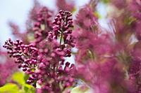 Close up of pink lilac blossom