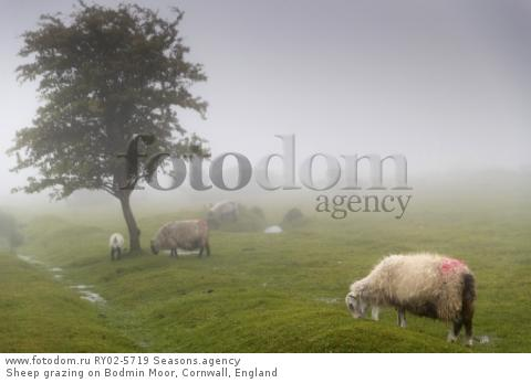 Sheep grazing on Bodmin Moor, Cornwall, England