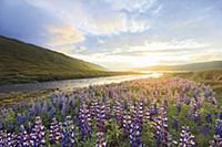 Flowering Alaska lupines near Heydalur, northern W