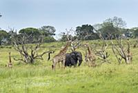 Giraffes and an elephant in the iSimangaliso Wetla