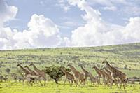 Giraffes in the Ngorongoro crater in the Serengeti