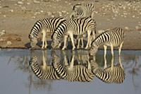 Zebras at a watering hole, Africa