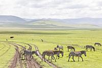 Zebras in the Ngorongoro crater in the Serengeti,