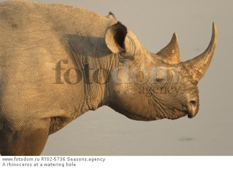 A rhinoceros at a watering hole