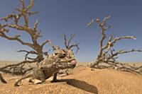 A Namaqua chameleon in the desert sand, Africa