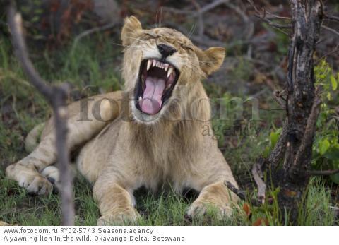A yawning lion in the wild, Okavango Delta, Botswana
