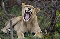 A yawning lion in the wild, Okavango Delta, Botswa
