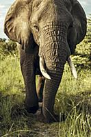 An elephant in the Okavango Delta in Botswana, Afr