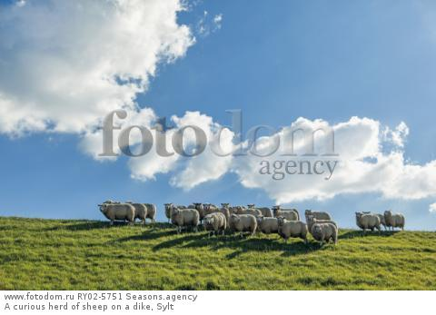 A curious herd of sheep on a dike, Sylt
