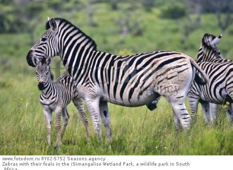 Zebras with their foals in the iSimangaliso Wetland Park, a wildlife park in South Africa