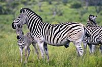 Zebras with their foals in the iSimangaliso Wetlan