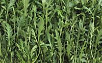 Lots of rocket leaves (filling the image)