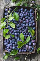 Fresh blue plums in rusty baking tray