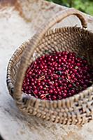 A basket of organic lingonberries