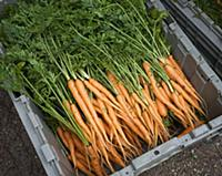 Organic Carrots in a Bin