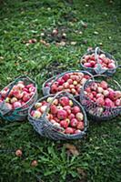 Baskets of apples in garden