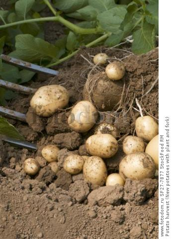 Potato harvest (New potatoes with plant and fork)