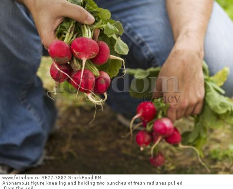 Anonamous figure knealing and holding two bunches of fresh radishes pulled from the soil