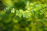 Branch of grape leaves on a green background, clos