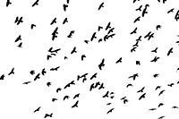 Flight of black birds on a white background