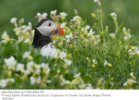 Птица Тупик (Fratercula arctica), отдыхает в траве. Острова Фарн (Farne Islands).