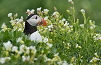 Птица Тупик (Fratercula arctica), отдыхает в траве