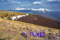 Горный пейзаж с цветами крокуса. Ранняя весна в го