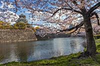 Осакский замок (Osaka Castle) с цветущей сакурой,