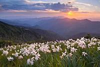 Вечерний весенний пейзаж. Цветущие нарциссы в гора