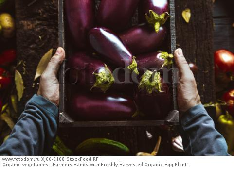 Organic vegetables - Farmers Hands with Freshly Harvested Organic Egg Plant.